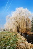 Frosted Weeping willow royalty free stock images