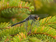 Frosted Whiteface Dragonfly Royalty Free Stock Photo