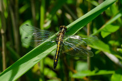 Frosted Whiteface Dragonfly. Female Frosted Whiteface Dragonfly perched on a blade of grass Royalty Free Stock Photo