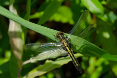 Frosted Whiteface Dragonfly Royalty Free Stock Photos
