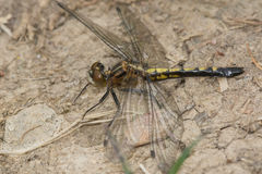 Frosted Whiteface Dragonfly Stock Images
