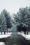 Frosted wiecznozieloni drzewa Obraz Royalty Free