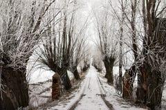 Frosted Wierzbowi drzewa obraz royalty free
