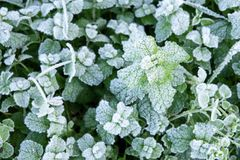 Wild peppermint covered with white hoar frost and ice crystal formation. Winter nature background royalty free stock image