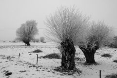 Frosted Willow Trees. In filed Royalty Free Stock Image
