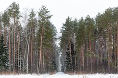 Frosted Winter Woods. Pushkino, Moscow Oblast, Russia Royalty Free Stock Photo