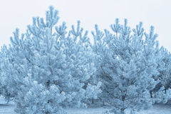 Frosted young pines Stock Photography