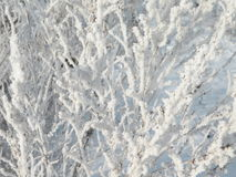 Frosten bush in winter Stock Photo