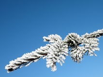Frosten fir branch Royalty Free Stock Photography