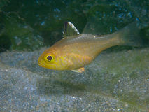 Frostfin cardinalfish. Appear to be the most common species of cardinalfish at Secret Bay, north Bali stock photo