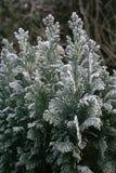 frostig evergreen Arkivfoton