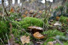 Frostig gammal champinjon i skogen Royaltyfri Foto