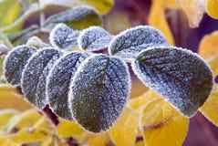 frostig leaf Royaltyfria Bilder
