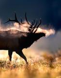 Frostig male tjurälg Arkivbilder