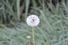 Frostig maskros Royaltyfri Foto
