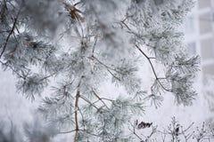 Frostig närbild för granträdfilialer Royaltyfria Foton