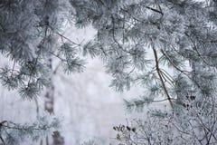 Frostig närbild för granträdfilialer Arkivfoto