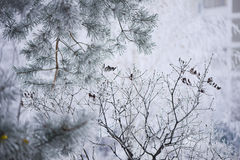 Frostig närbild för granträdfilialer Fotografering för Bildbyråer