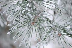 Frostig närbild för granträdfilialer Royaltyfri Fotografi