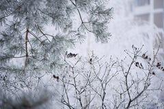 Frostig närbild för granträdfilialer Royaltyfri Foto
