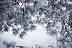 Frostig närbild för granträdfilialer Arkivbilder