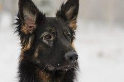 Frostig snöig spela leksak för lång för hår vinter för tysk herde Arkivfoto