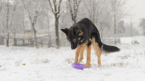 Frostig snöig spela leksak för lång för hår vinter för tysk herde Arkivbilder