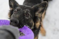 Frostig snöig spela leksak för lång för hår vinter för tysk herde Arkivfoton