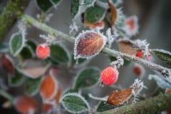 frostig trädgård 3 royaltyfria foton