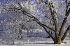 frostig treesvinter Fotografering för Bildbyråer