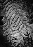 frostiga ferns Arkivfoton
