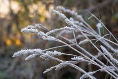 Frostiga grässtrån Royaltyfria Bilder