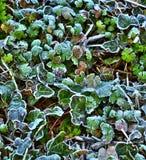 frostiga leaves 1 Royaltyfri Foto