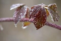 frostiga leaves royaltyfri fotografi