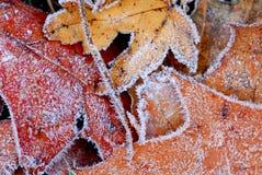 frostiga leaves royaltyfri foto