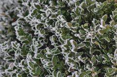 frostiga leaves Arkivfoton