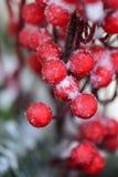 Frostiga röda bär i vinter Fotografering för Bildbyråer