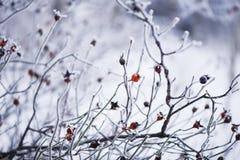Frostiga röda bär på en filial Royaltyfri Fotografi