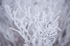 Frostiga röda bär på en filial Arkivbilder