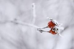 Frostiga röda bär på en filial Fotografering för Bildbyråer