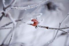 Frostiga röda bär på en filial Royaltyfri Bild