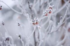 Frostiga röda bär på en filial Royaltyfria Foton