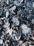 Frostiga sidor som ligger på jordningen Royaltyfri Fotografi