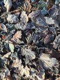 Frostiga sidor som ligger på jordningen Royaltyfria Bilder