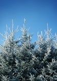 frostiga trees för gran Arkivbild