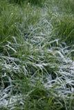 frostigt gräs Arkivfoto