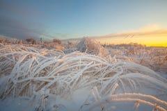 Frostigt gräs för vinter på soluppgång Arkivbild