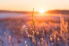 Frostigt gräs på vintersolnedgången royaltyfri bild