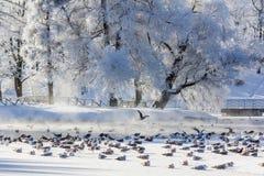 Frostigt landskap för morgonvinter i parkera för ligganderussia för 33c januari ural vinter temperatur Sträng frost, snöig träd,  arkivbild