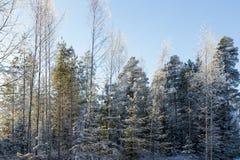 Frostigt och snö täckte träd i en skog Arkivbild